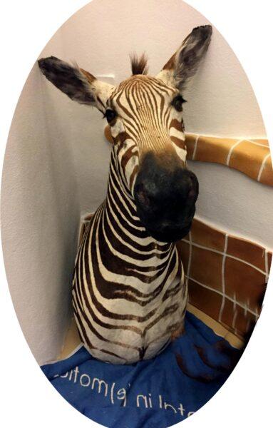 Zebra Haupt