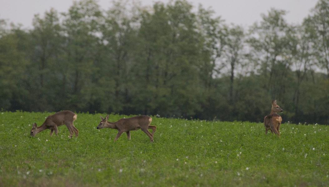 Ungarn jagen hirsch 03