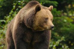 Arrangement auf den Braunbär in Kroatien 2020/2021