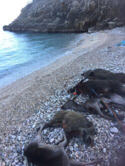 Arrangement Ansitz & Drückjagd auf einer Insel in Kroatien / Gruppenstärke: ab 8 Personen