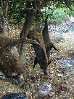 """""""Jungjäger""""""""Wildschadenjagd"""" Ansitz auf Sauen in Kroatien auf einer Insel 2021"""