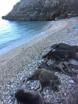 Arrangement Ansitz & Drückjagd auf einer Insel in Kroatien