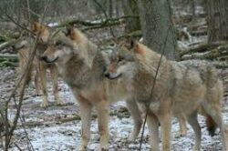 Jagdwochenende auf Gold Schakal in Kroatien 2020