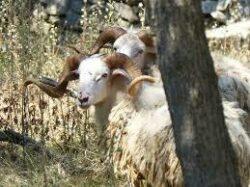 Pauschaljagd auf Wildbock und Dalmatien - Widder in Kroatien 2020
