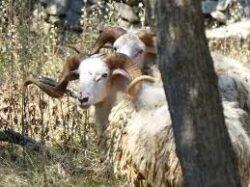 Pauschaljagd auf  Dalmatien Widder in Kroatien 2020