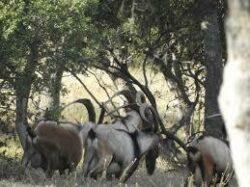 Pauschaljagd auf Mähnenspringer-Dalmatien Widder und KRI-KRI Hybrid Ibex in Kroatien 2020/2021
