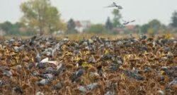 Eine Tolle Taubenjagd in der Slowakei 2021